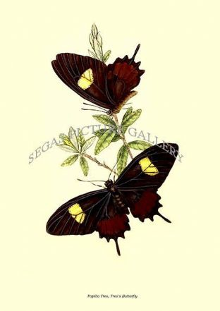 Papilio Tros, Tros's Butterfly